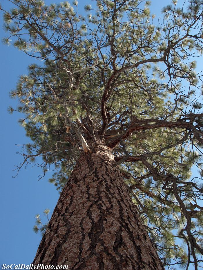 Big Bear Lake Pine Trees